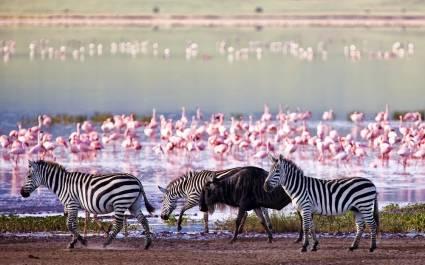 Riesige Kolonie von Flamingos und Zebras am Wasser des Ngorongoro-Kraters in Tansania, Afrika