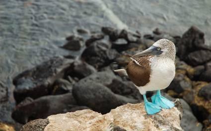 Nahaufnahme von einem Blaufußtölpel auf den Galapagos-Inseln, Ecuador