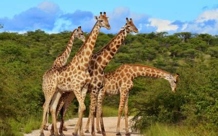 Gruppe von Giraffen essen in Baumkronen, Masai Mara, Kenia