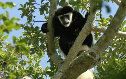 Colobus monkey at Rubondo Island - Luxury African safari
