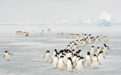 Annual migration of Adélie penguin in South Orkney Islands, Antarctica vacation