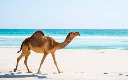 Camel in Salalah, Dhofar, Oman