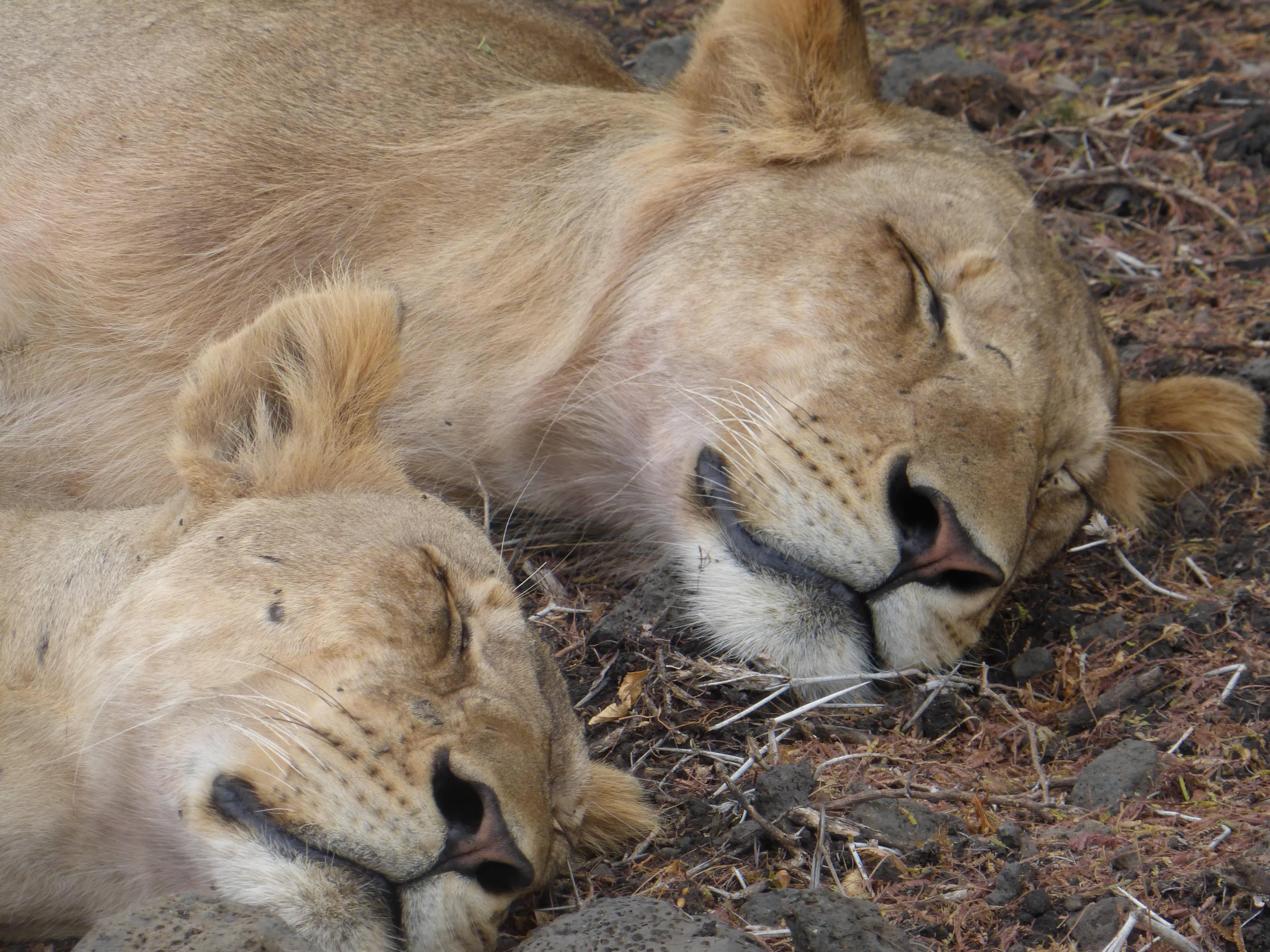 Ein Löwenfamilie