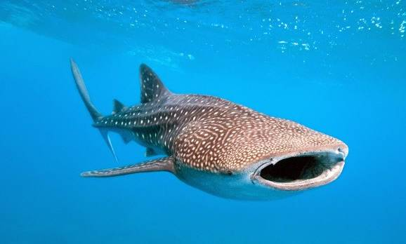 whale-shark-and-underwater-photographer-shutterstock_70078366