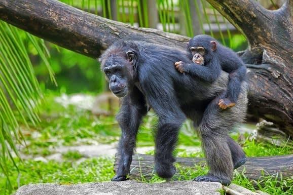 common-chimpanzee-with-her-child-in-the-wild-rwanda-