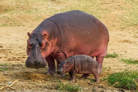 A mother-and-baby-hippo-near-the-kazinga-channel-uganda-