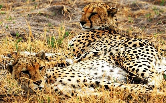 Zwei wunderschöne Geparden-Damen im Gras