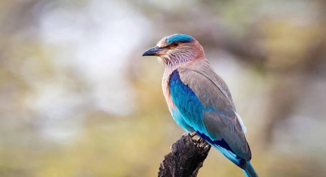 Eine Indische Blauracke (Vogel) sitzt auf einem Baum