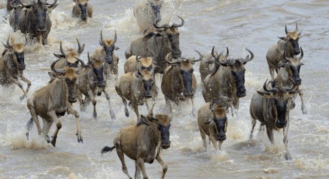 Gnus durchqueren einen Fluss bei der Tierwanderung