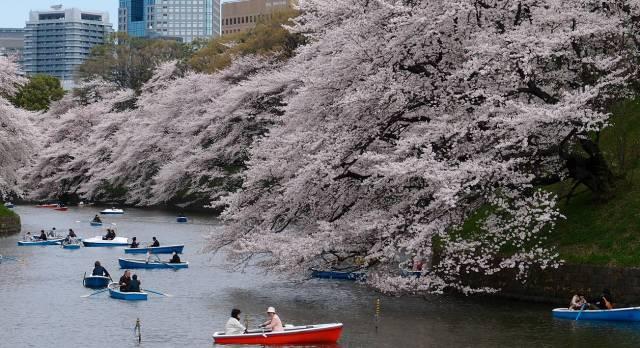 Kirschblütenbäume an einem Fluss