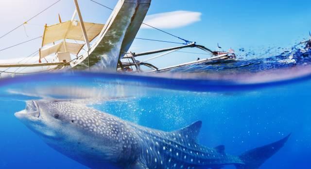 Ein Walhai unter Wasser in der Nähe eines Boots