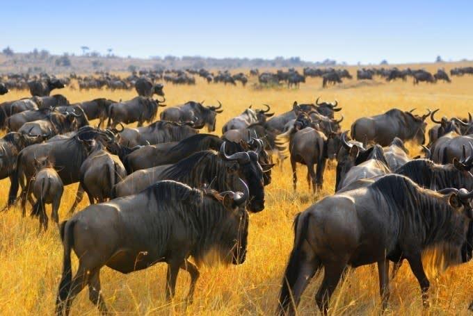 Masai Mara, Great Migration