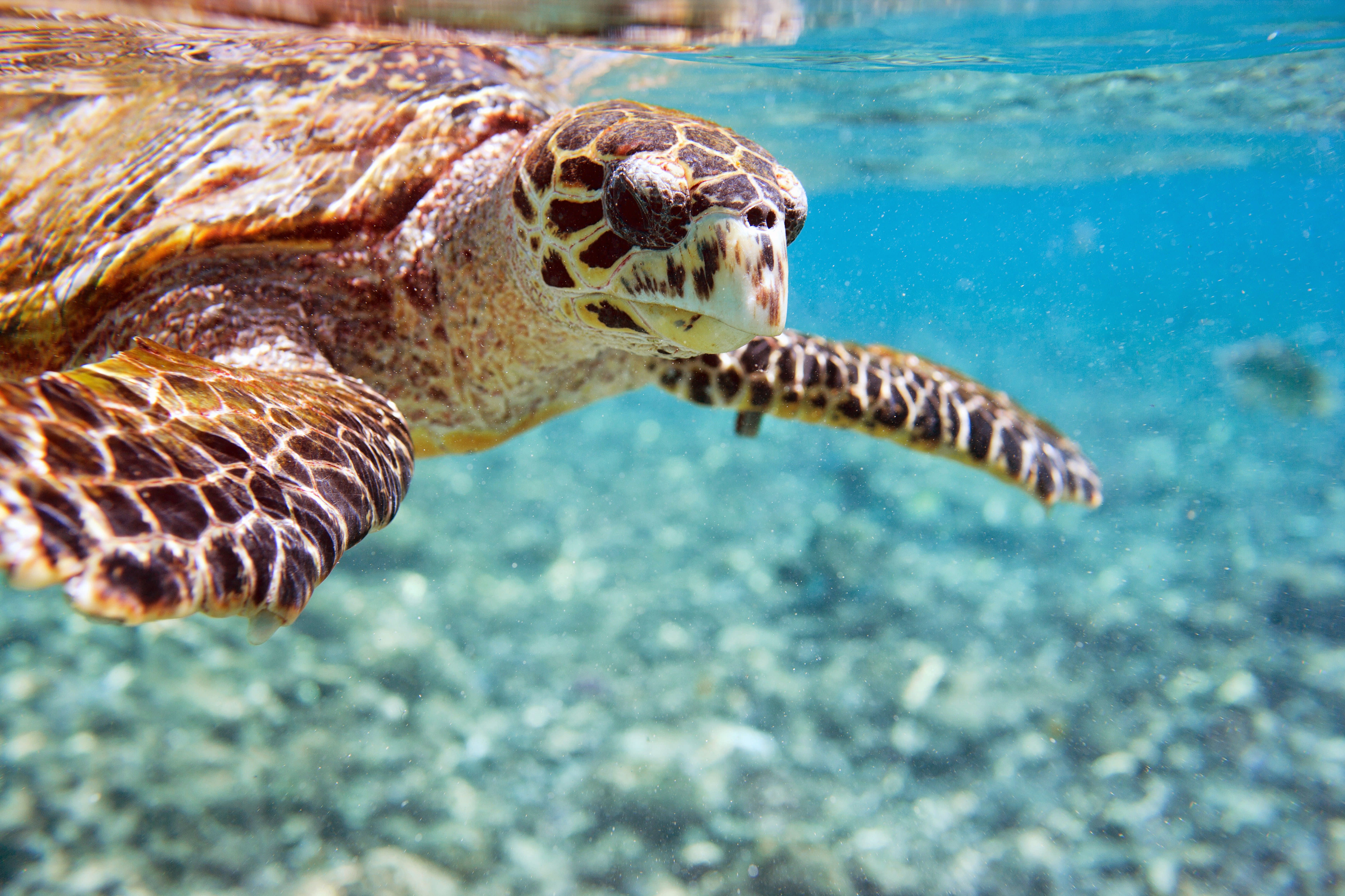 Meereschildkröte in den Gewässern des Saint Anne Marineparks