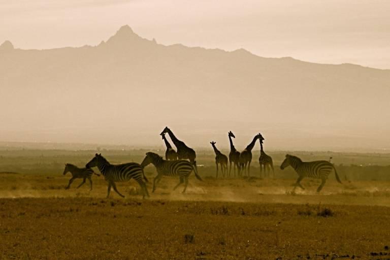 Zebras und Giraffen vor dem Mount Kenya in Afrika