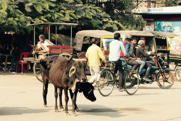 Zwei Ochsen auf einer vielbefahrenen Straße in Indien