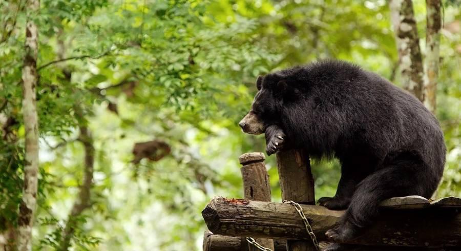 Bär in Laos