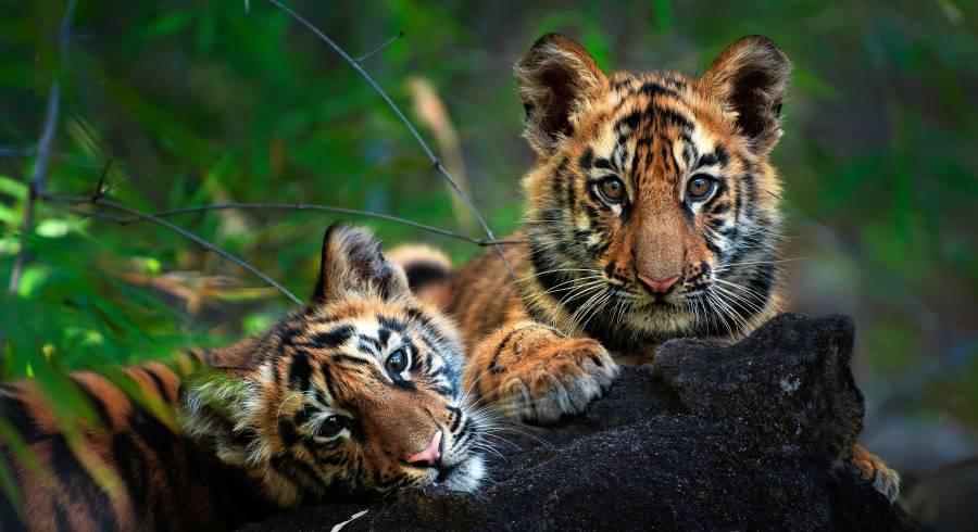 Tiger im Bandhavgarh Nationalpark