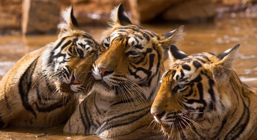 Travel through India to see the magnificent tiger