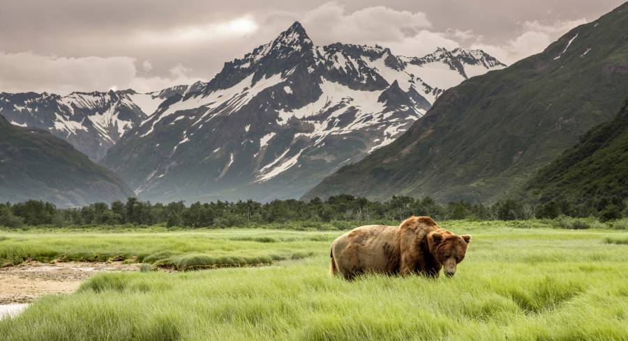 Grizzly Bear of Shores of Alaska.