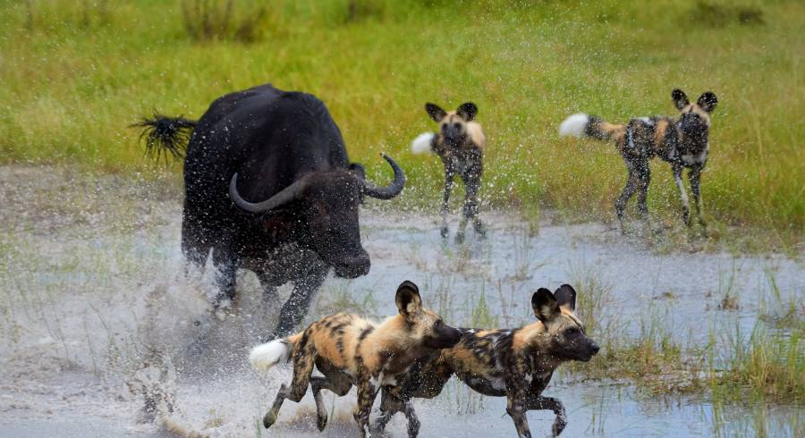 African wild dogs - Discover the Best Time to Visit the Okavango Delta