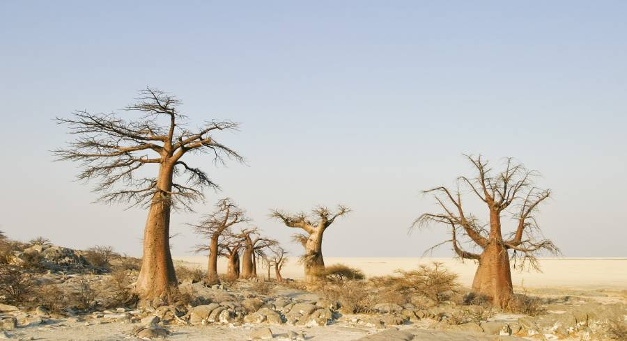 Baobabs - Discover the Best Time to Visit the Okavango Delta