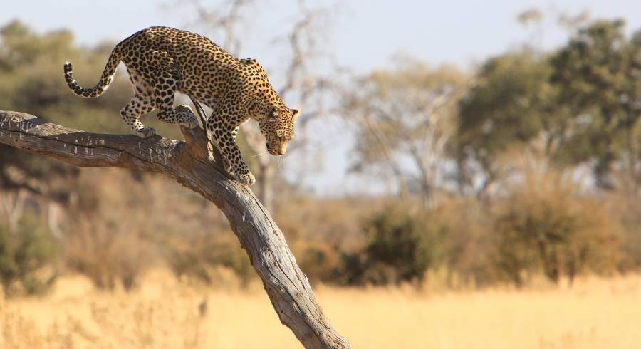 Leopard in the Moremi Game Reserve of Botswana - Discover the Best Time to Visit the Okavango Delta