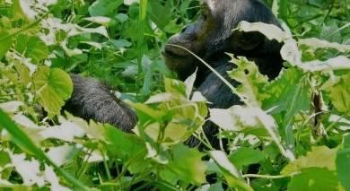 Empfohlene Individualreise, Rundreise: Tansania und Ruanda – Gorilla-Trekking, Safari und Viktoriasee