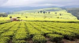 Destination Kericho and Nandi Hills Kenya
