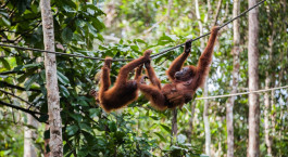Reiseziel Sumatra, Bukit Lawang Indonesien