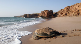 Reiseziel Ras Al Jinz Oman