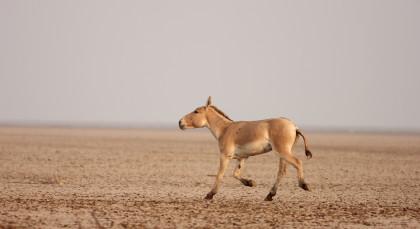 Bajana (Little Rann of Kutch) in Nordindien