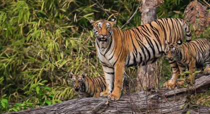 Destination Tadoba in Central & West India