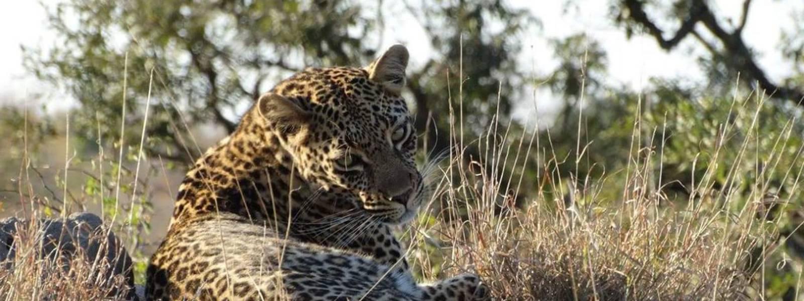 a leopard standing on a dry grass field