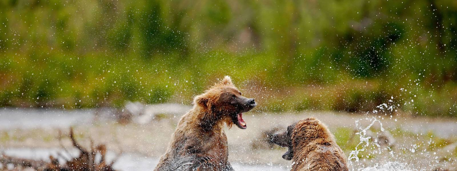 Bears in Katmai National Park