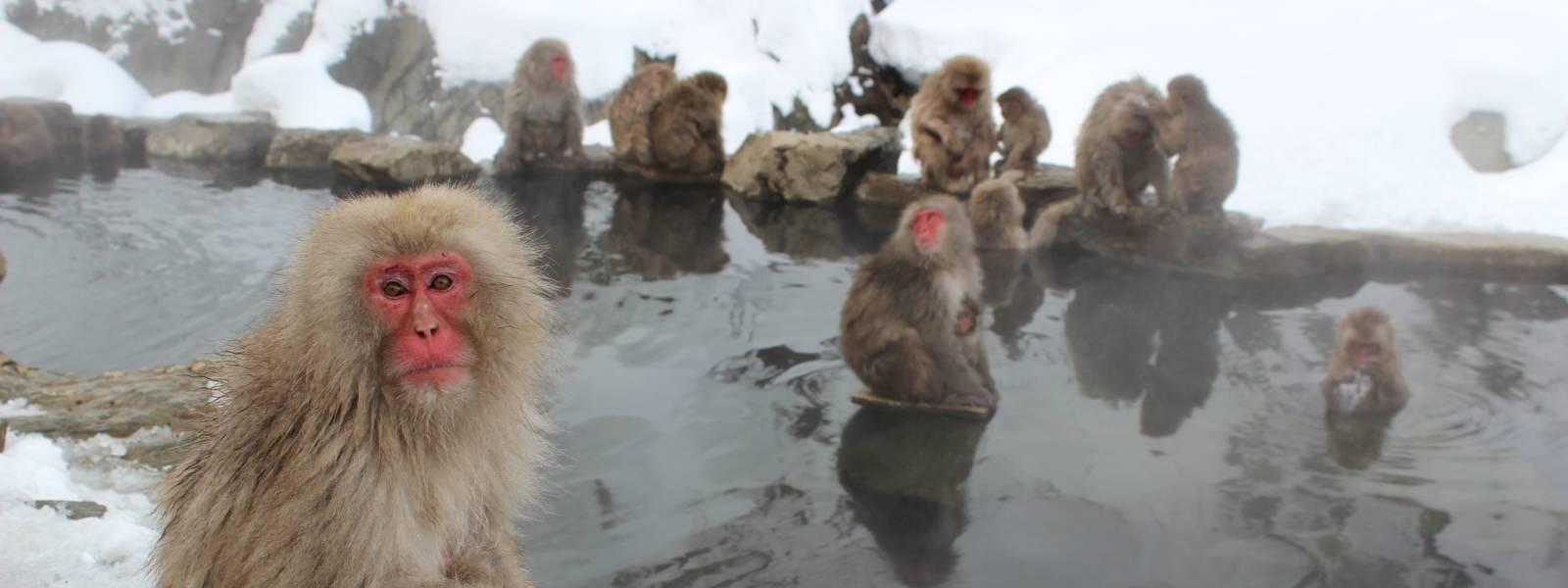 Snow monkeys Japan