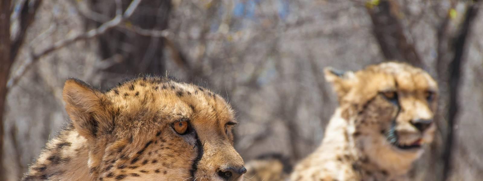 Cheetahs in Namibia