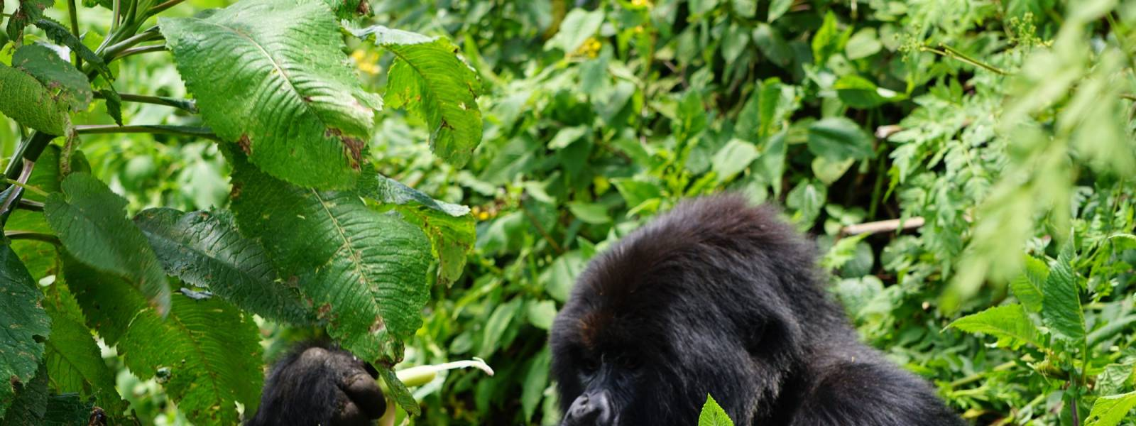 a black bear eating grass in a forest