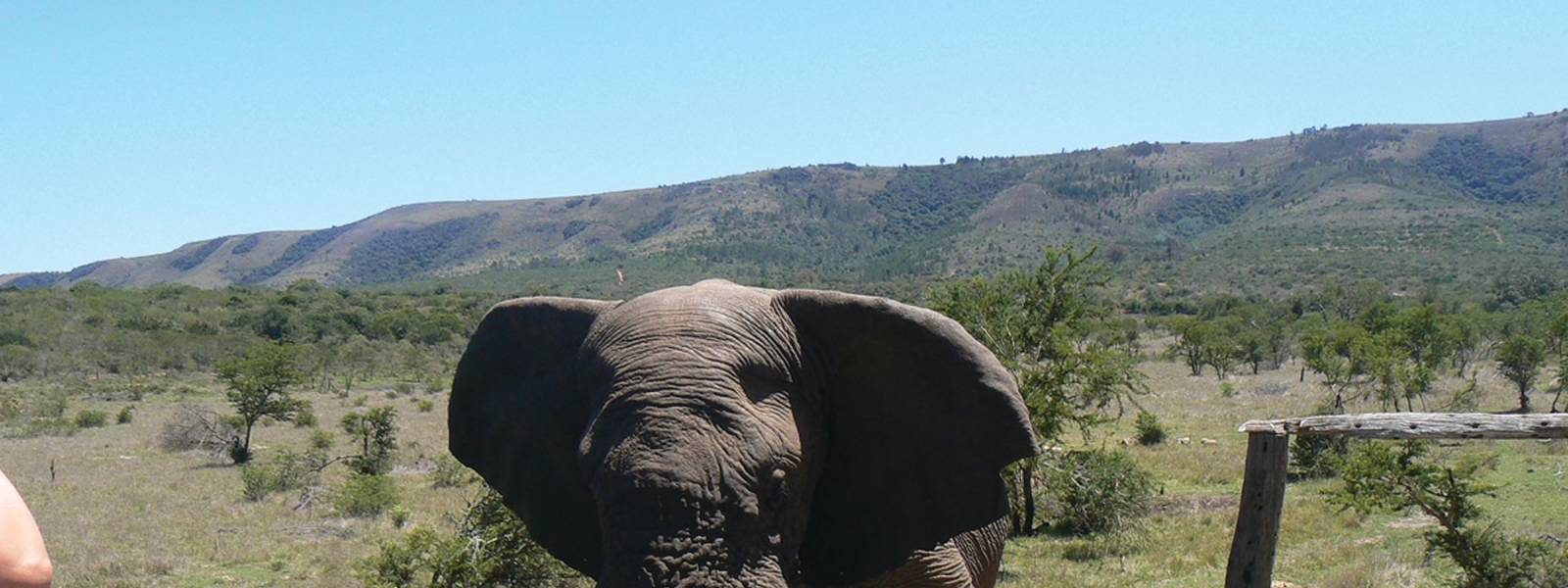 a large elephant and a mountain in the background