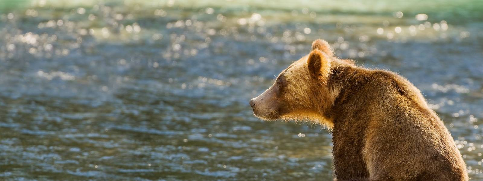 a brown bear swimming in a body of water