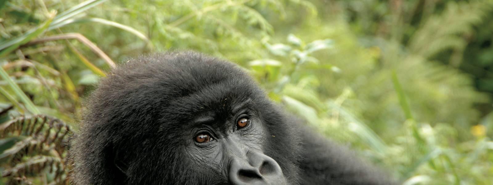 a black bear lying on some grass