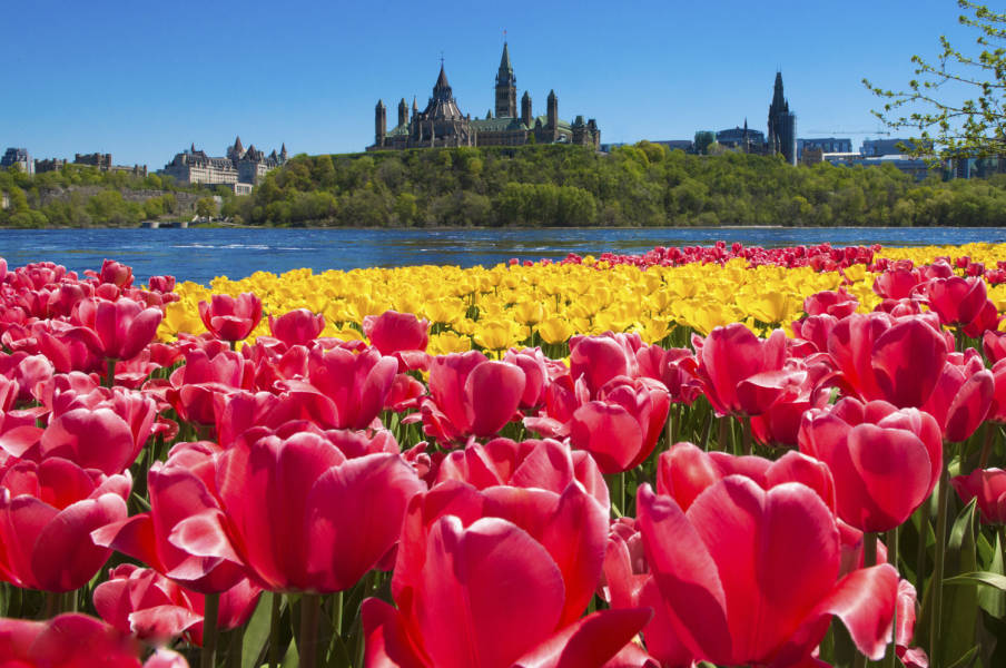 Yellow Red Tulips Parliament Hill in distance