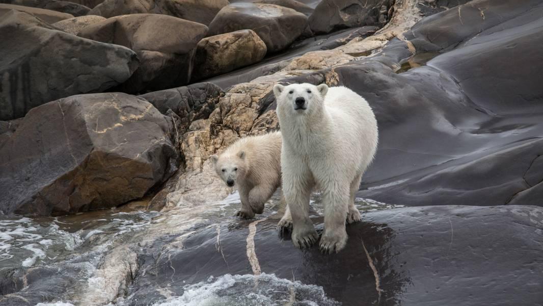 Polar Bears, Manitoba