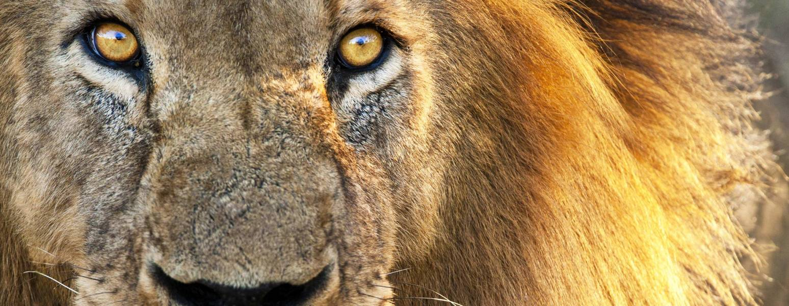 a lion looking at the camera
