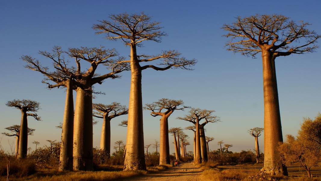 a group of palm trees with Avenue of the Baobabs in the background