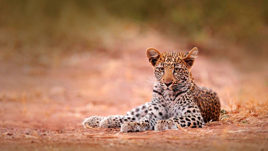 Leopard in Hwange National Park