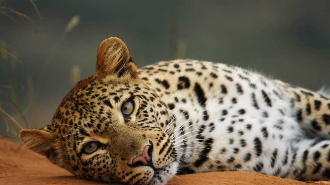 a cat lying on top of a leopard
