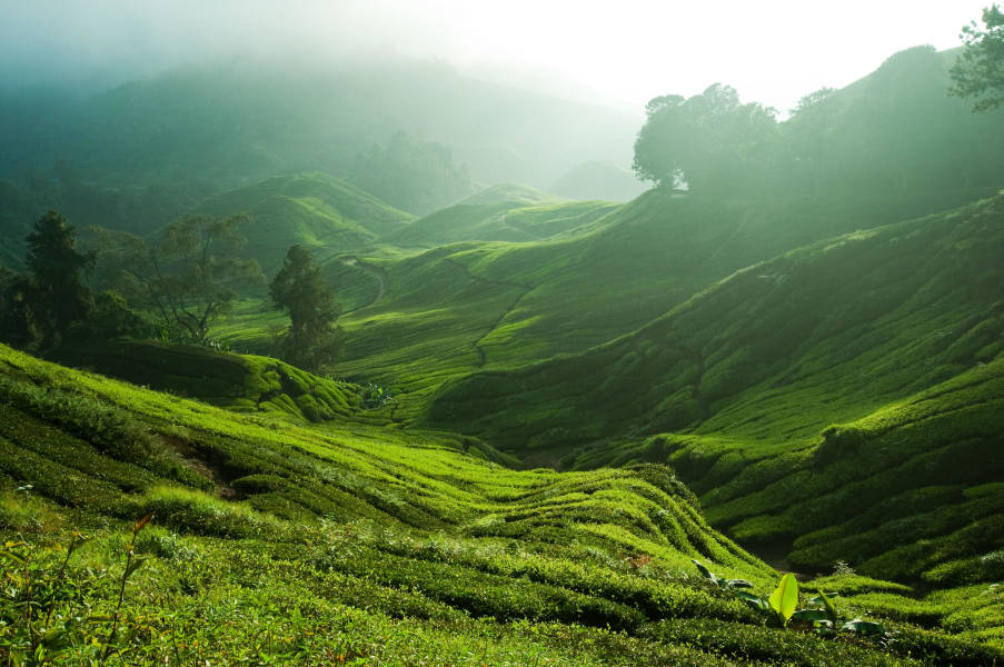Sungai Balas Tea Plantation