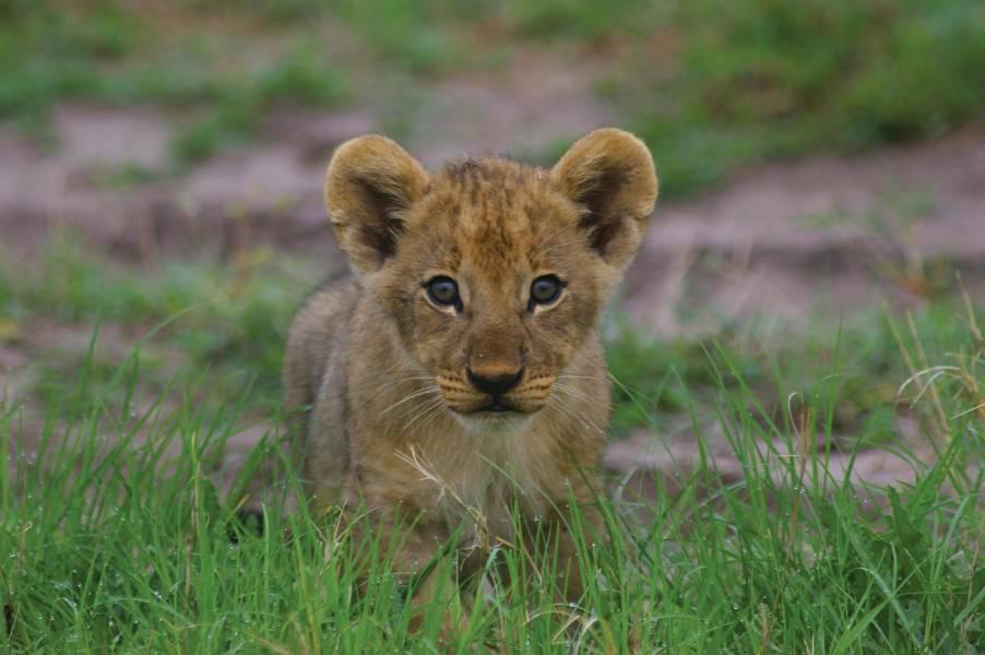 a lion sitting in a field