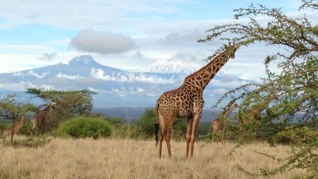 a giraffe standing in a field