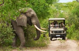 Elephant about to cross the road in Kruger National Park